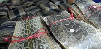 TRIO CAUGHT WITH PYTHON SKIN, SLAPPED WITH 9 YEAR JAIL TERM