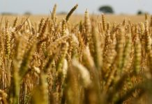 COMMAND WHEAT COULD SAVE COUNTRY $100 MILLION