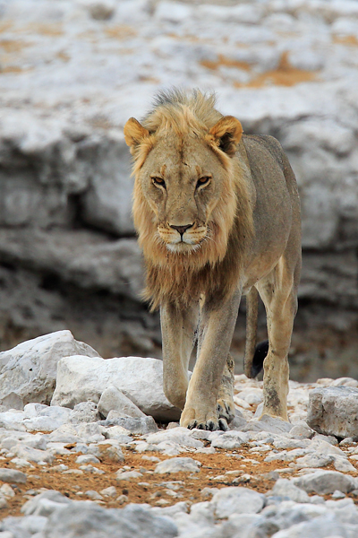HUNGRY LIONS TERRORISE CHIMANIMANI VILLAGERS
