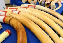 200kg OF MALAYSIA BOUND IVORY BUSTED AT RG MUGABE AIRPORT