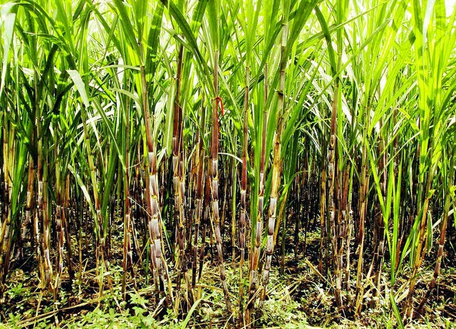 DEBT RIDDEN FARMERS ABANDON SUGAR CANE FIELDS