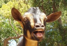 BOY CAUGHT RED HANDED RAPING GOAT