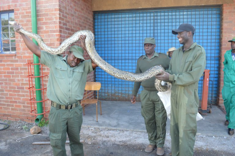 Huge Mabvuku Python Captured : PICTURES