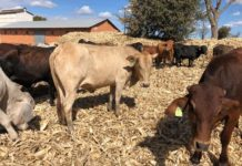 Desperate Farmers Sell Cattle For $50 As January Disease Ravages