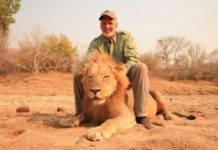 American under fire for killing sleeping Zimbo lion