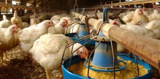 Shock New Price Of Chicken Feed, Chicken Prices Set To Shoot Up!